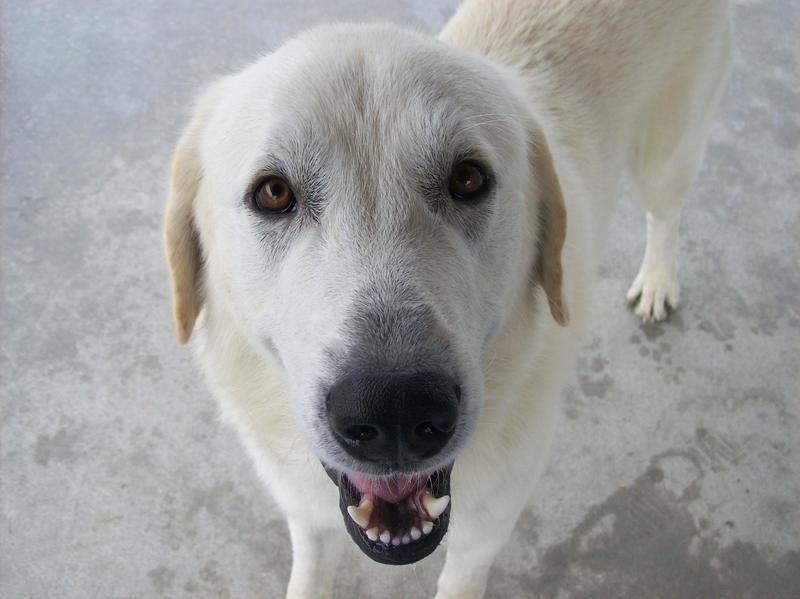 Adopt buddy on petfinder akbash dog akbash livestock