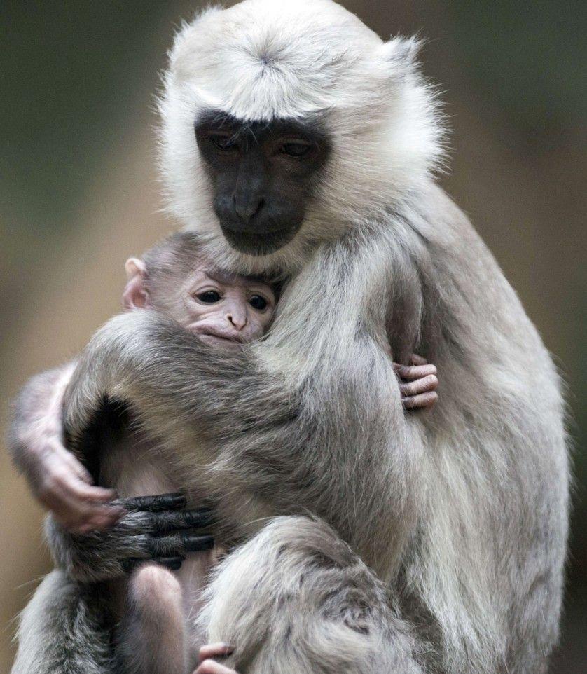 Sally, uma mãe macaca da espécie langur-cinzento, segura seu bebê em sua jaula no Zoológico de Berlim, Alemanha. Este tipo de macaco vive em comunidades em que um único macho mora com várias fêmeas e seus filhotes.
