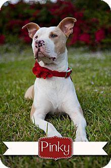 Miami Fl Great Dane Shepherd Unknown Type Mix Meet Biscuit A Dog For Adoption Dog Adoption Great Dane Kitten Adoption