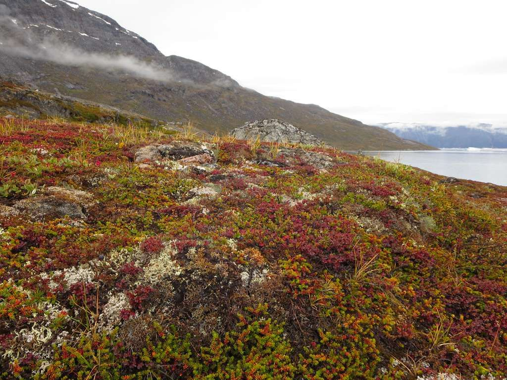 The Tundra Comes Alive During Greenland S Brief Arctic