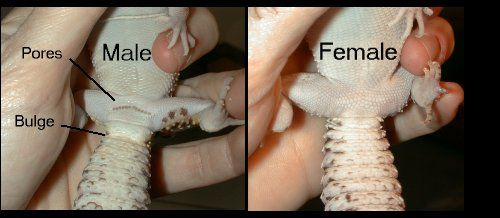 Sex of fat tail gecko