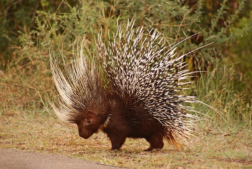 Image result for african porcupine