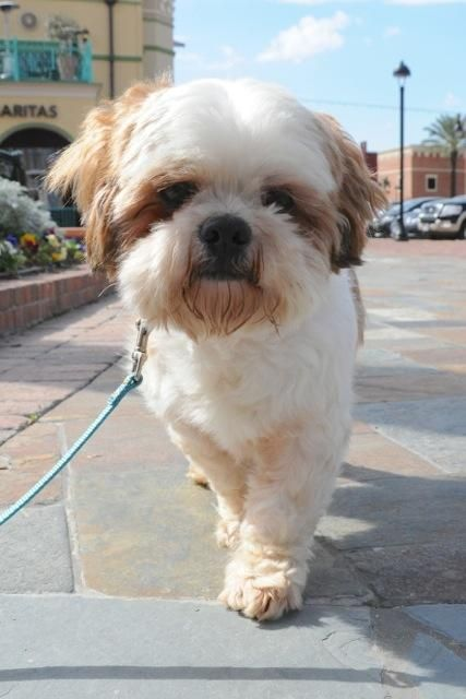 Adopt East Ranger Turner Turner On Cute Dogs Shih Tzu Dog Shih Tzu