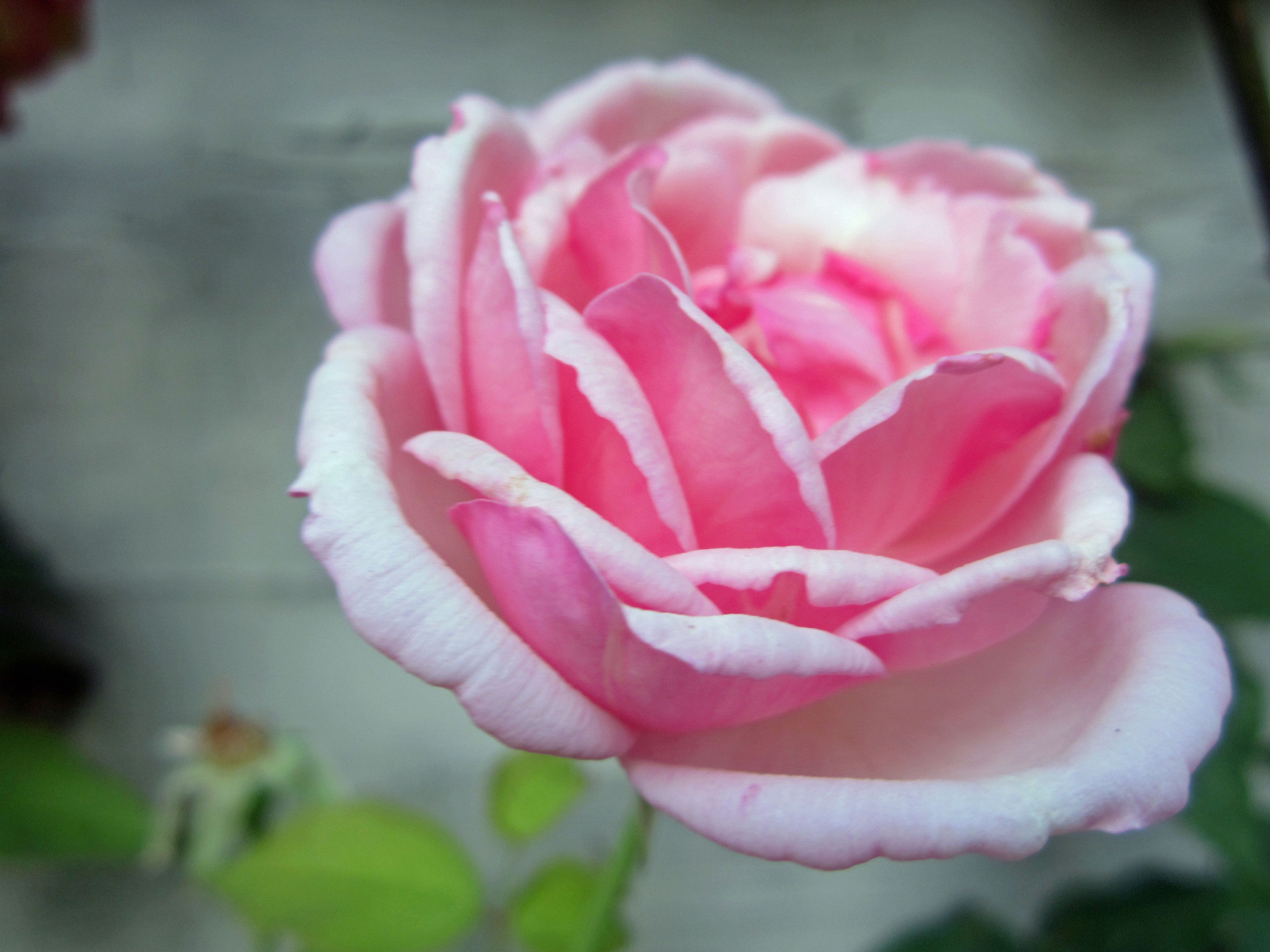it takes 60 000 roses to make one ounce of rose oil a rose in in