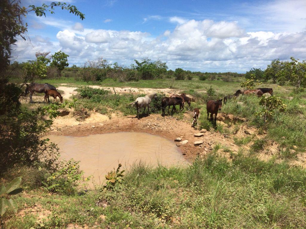 Wilde paarden langs de weg in de Rupununi richting Lethem