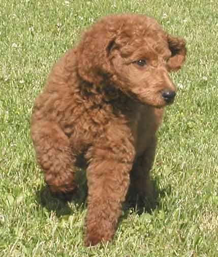 Royal Red Standard Poodles Daniel Red Stud Red Poodles