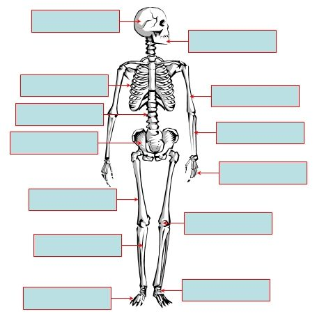 The Human Skeleton An Interactive Activity
