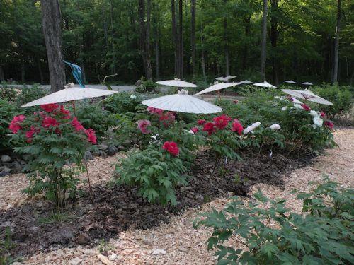 Landscape Design With Peonies Japanese Garden Landscape Design Japanese Tree