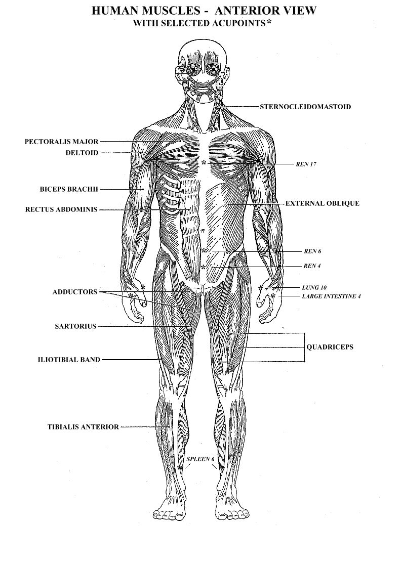Printable Muscular System Diagram Anatomy Organ Anatomy