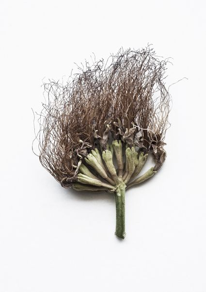 Bad Hair Day  ( Ebenopsis Ebano )