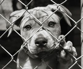 Adopt A Pitbull Yes Shelter Dogs Animal Shelter Dog Adoption