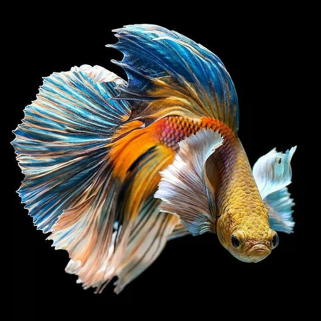 32 Photos Of The Most Beautiful Betta Fish In 2020 Betta Fish Siamese Fighting Fish Betta