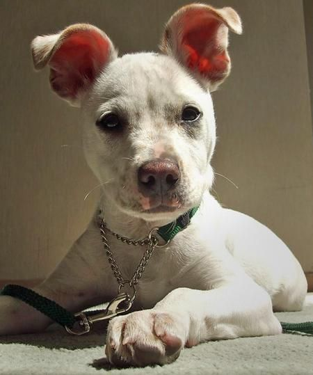 lab jack russell pit mix - photo #10