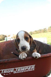 Malta Oh Basset Hound Beagle Mix Meet Belle A Puppy For