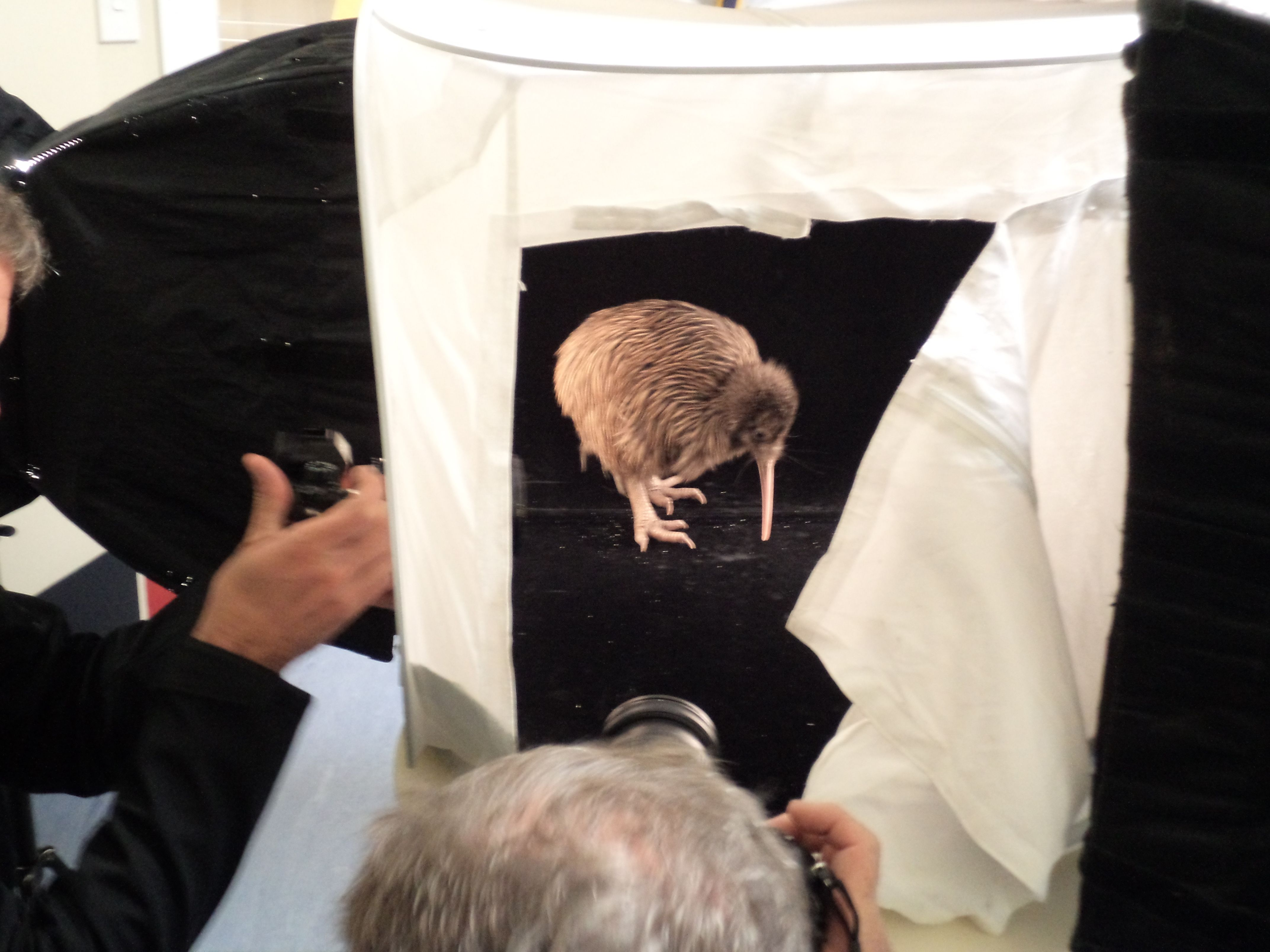 A rare Rowi Kiwi being photographed from National Geographic