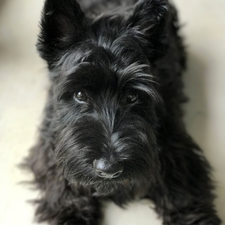 Scottie Max Is Waiting Scottish Terrier Puppy Scottie Dog