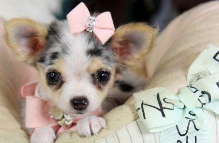 Chihuahuas For Sale Teacup Chihuahua Dogs Cute Chihuahua