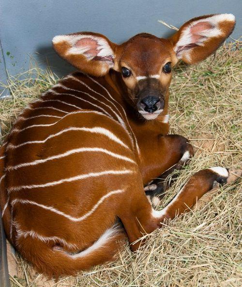 Brody The Baby Bongo Born At The Houston Zoo Unusual Animals