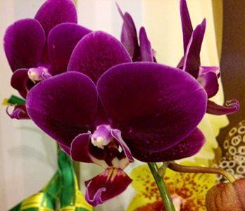 Foto Bunga Anggrek Bulan Deep Purple Close Up Gambar Bunga Anggrek Deep Purple Bunga