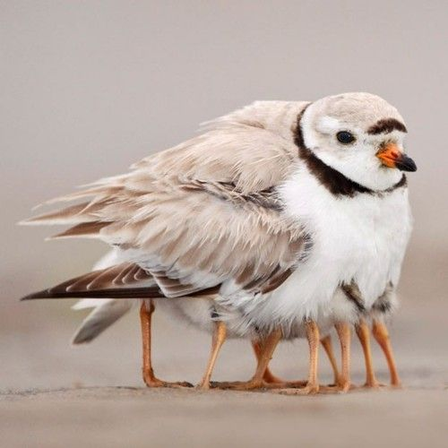 This piping plover may look like it has many legs, but it is taking its four newborns under its wing to keep them war***