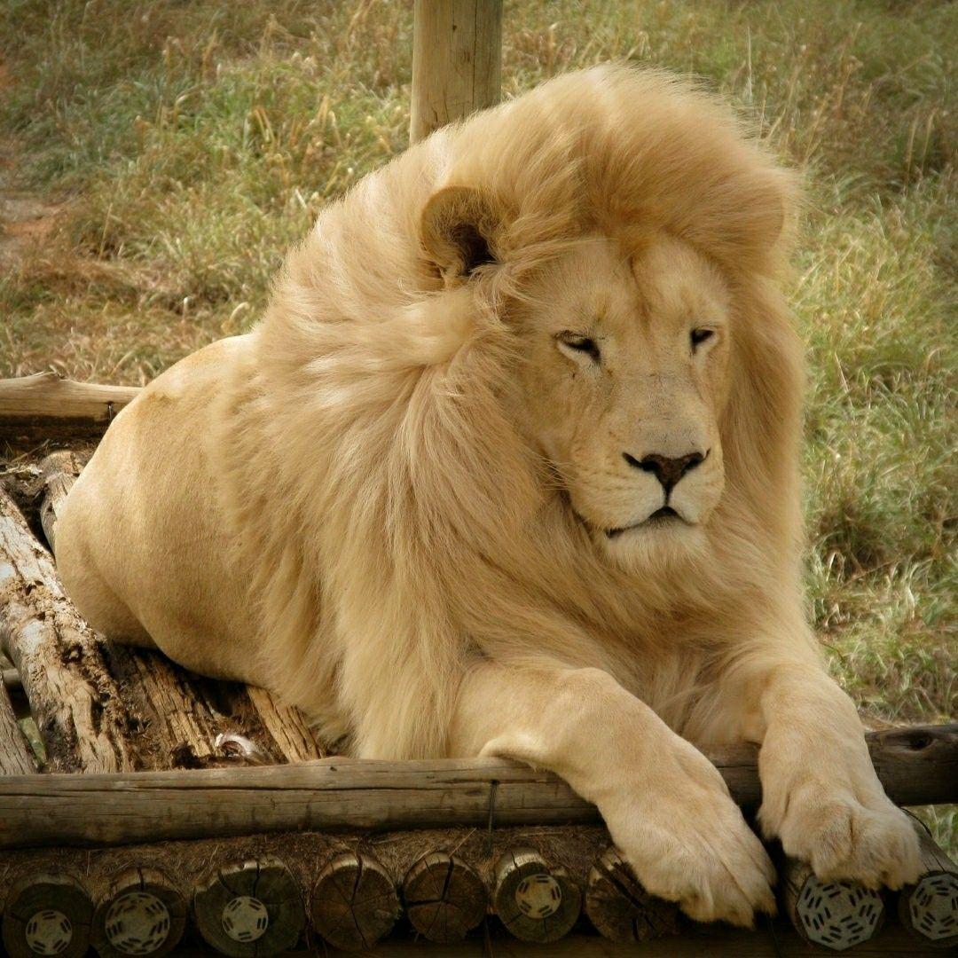 условия белые и черные львы фото рука