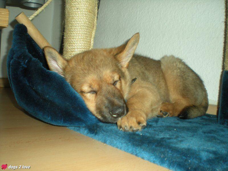 Schlafender Hund Hunde Schlafen Hunde Schlafen