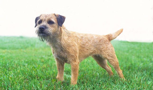 Border Terrier Breed Information For the Home