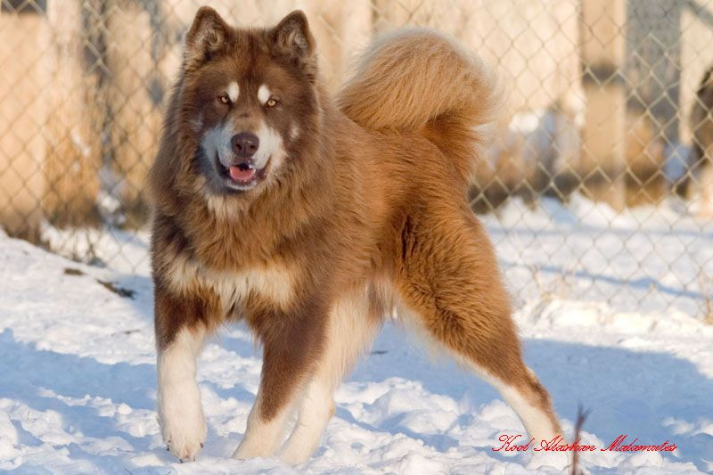 Red Long Furred Purebred Alaskan Malamute In The Snow Just Havin