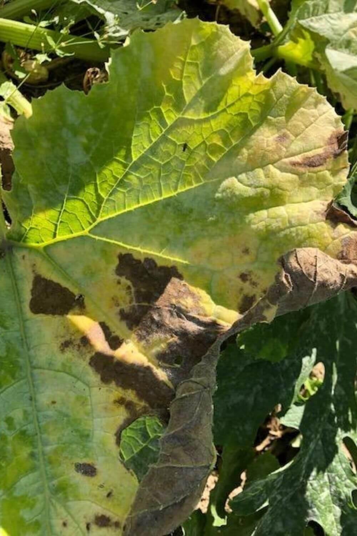 Épinglé sur Courgettes. Planter des courgettes