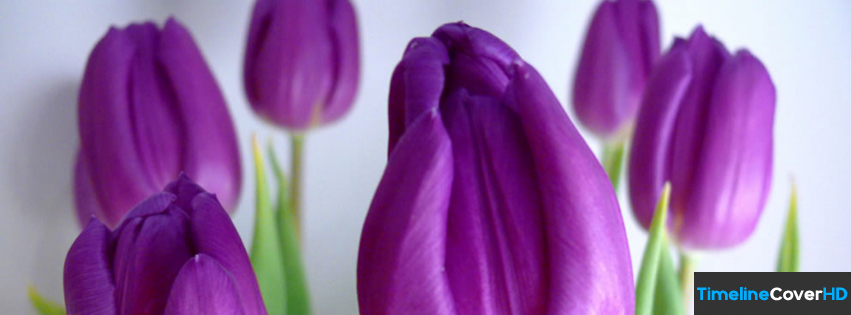 Tulip Flower Timeline Fb Covers Facebook Cover