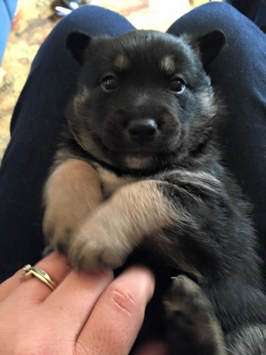 Dogsandpupsdaily Baby German Shepherds Husky Mix Siberian Husky Mix