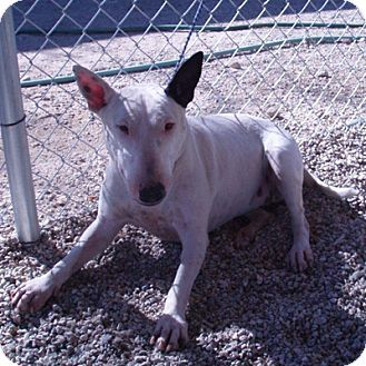 Los Angeles Ca Bull Terrier Meet Margo A Dog For Adoption