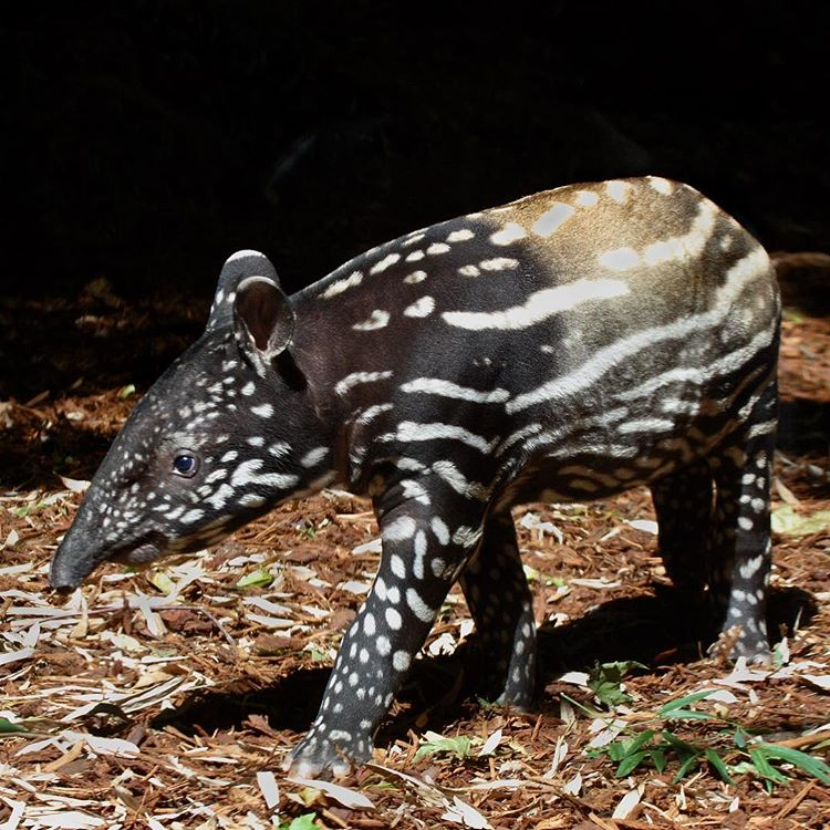 A Baby Tapir Is Anywhere From 10 20 Lbs When They Are Born This Is A Photo Of The Last Baby Tapir We Had A Woodland Park Zoo Animals Tapir Woodland Park Zoo