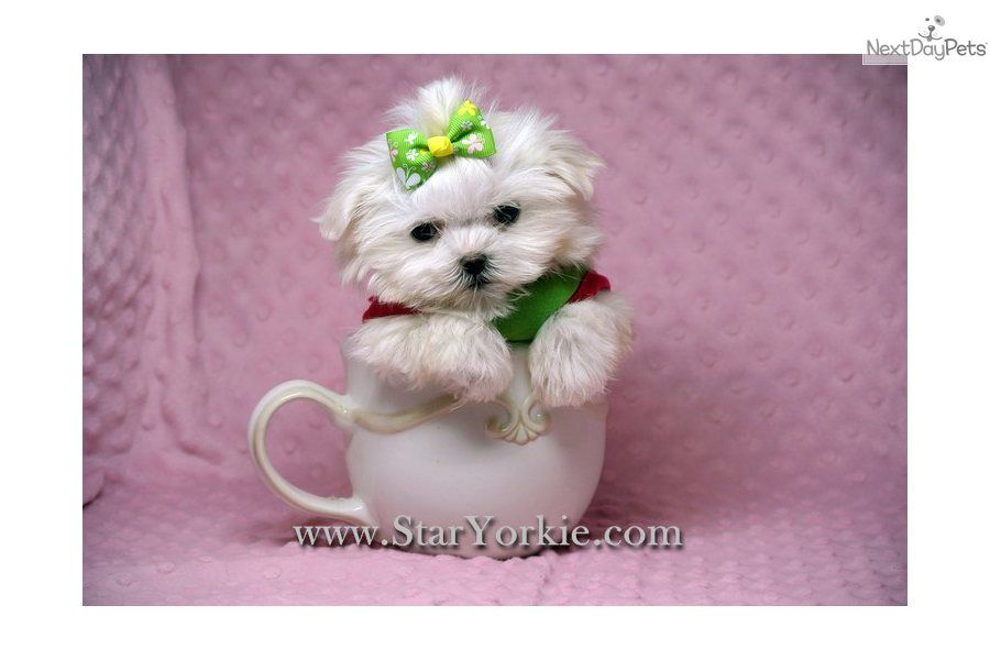 Maltese Puppy For Sale Teacup Maltese Puppies Available In Los