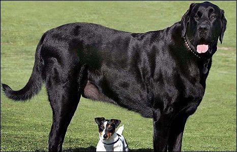 Newfoundland Great Dane Cross Huge Dogs Best Big Dog Breeds