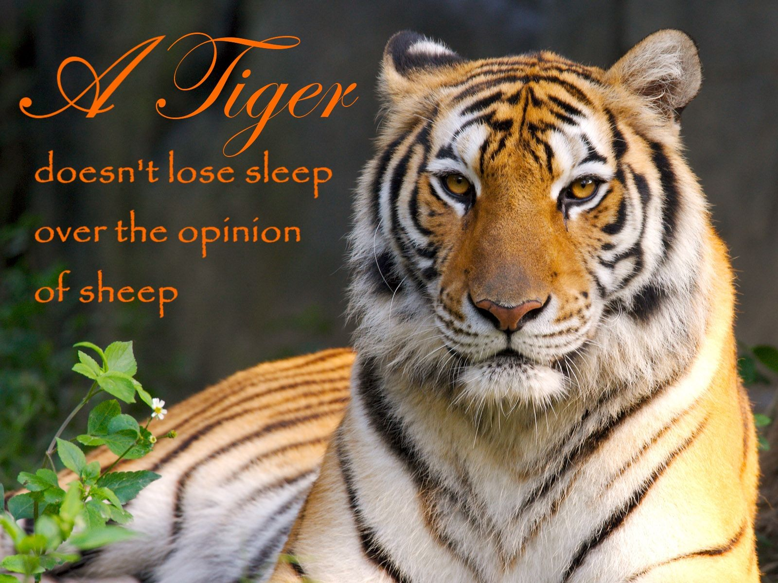 A Tiger Doesn T Lose Sleep Over The Opinion Of Sheep What If You