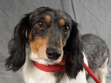 Adopt Caruso, a lovely 8 years 4 months Dog available for