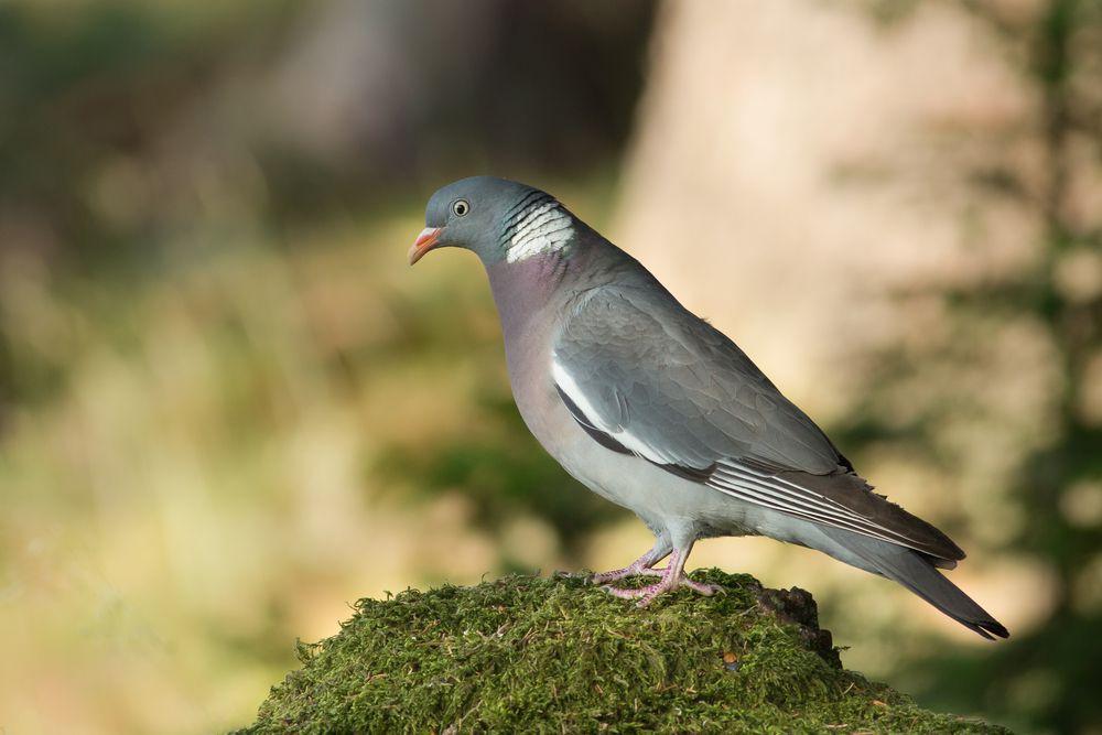 حمامة الغابة او الحمامة البرية كل ماتود معرفته حول هذا الطائر طيور العرب Wood Pigeon Pigeon Animals