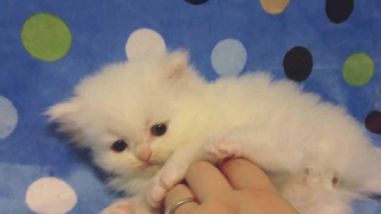 11 Cute Teacup Persian For Sale Wallpaper In 2020 Persian Kittens Persian Cat White White Persian Kittens