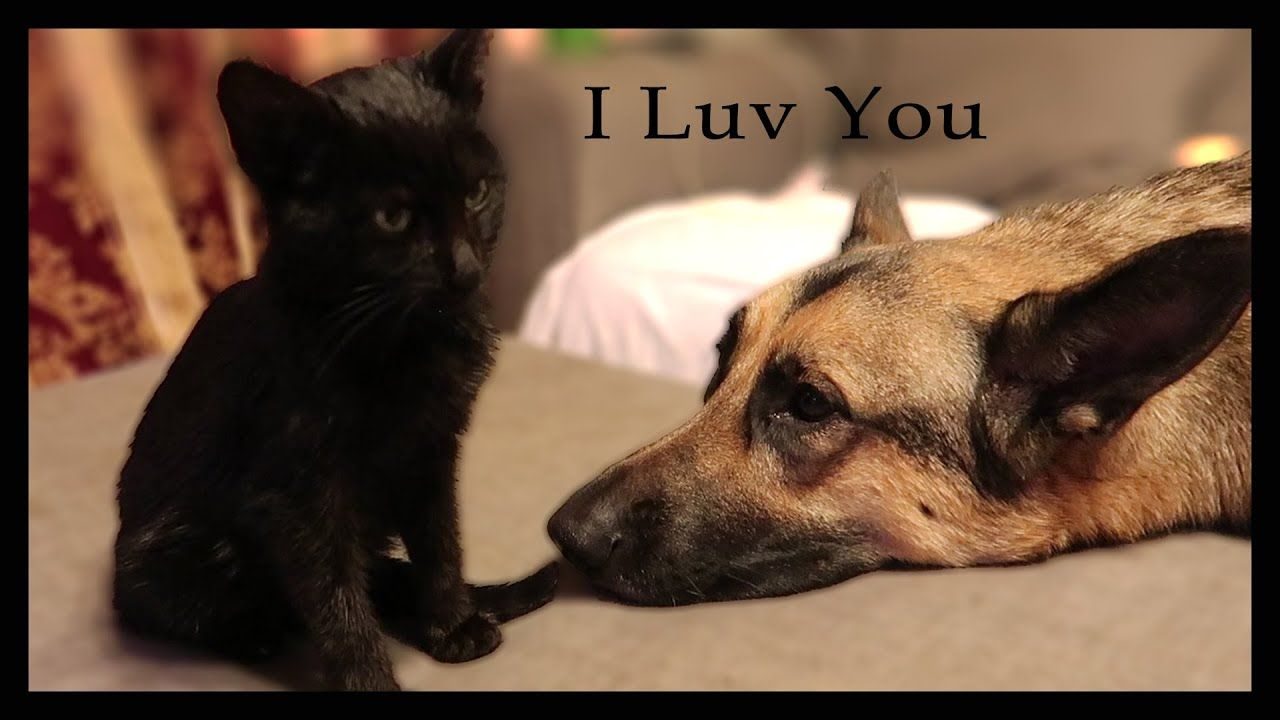 One Kitten With Two German Shepherd Dogs And One Cat New Kitten Update Kitten Shepherd Dog Cats
