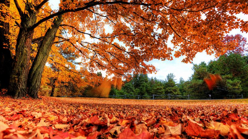Autumn Maple Tree Hd Wallpaper In 2019 Autumn Leaves
