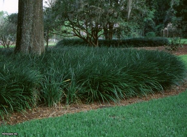 A Slower Growing But More Refined And Bluish Tinted Lilyturf