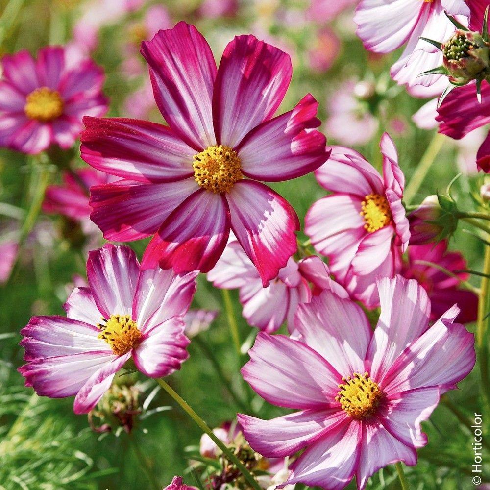 Fiori Bianchi Con Centro Giallo.Cosmos Picotee Plants Cosmos Garden