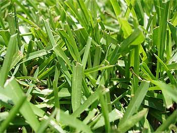Best Lawn Grass For Zone 9a Centipede Grass Eremochloa Ophiuroides Thick Uniform Low Growing Coarse Texture With Short U Centipede Grass Grass Grass Type