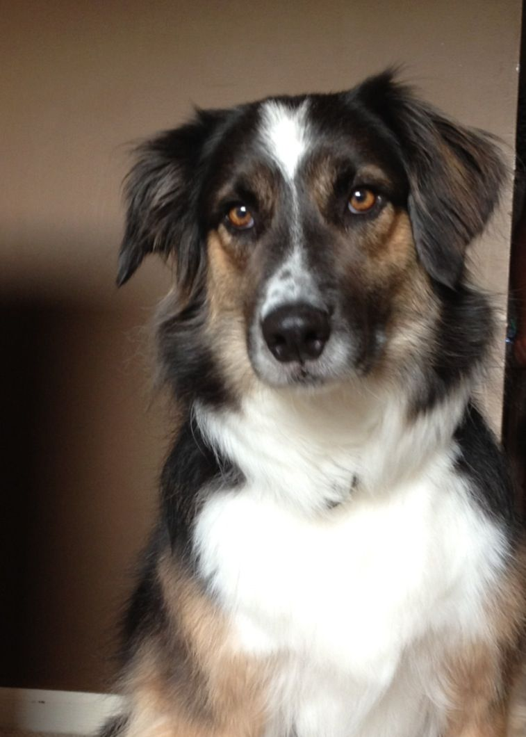 Border Collie Australian Shepherd Mix Lilah Is Such A Good Girl
