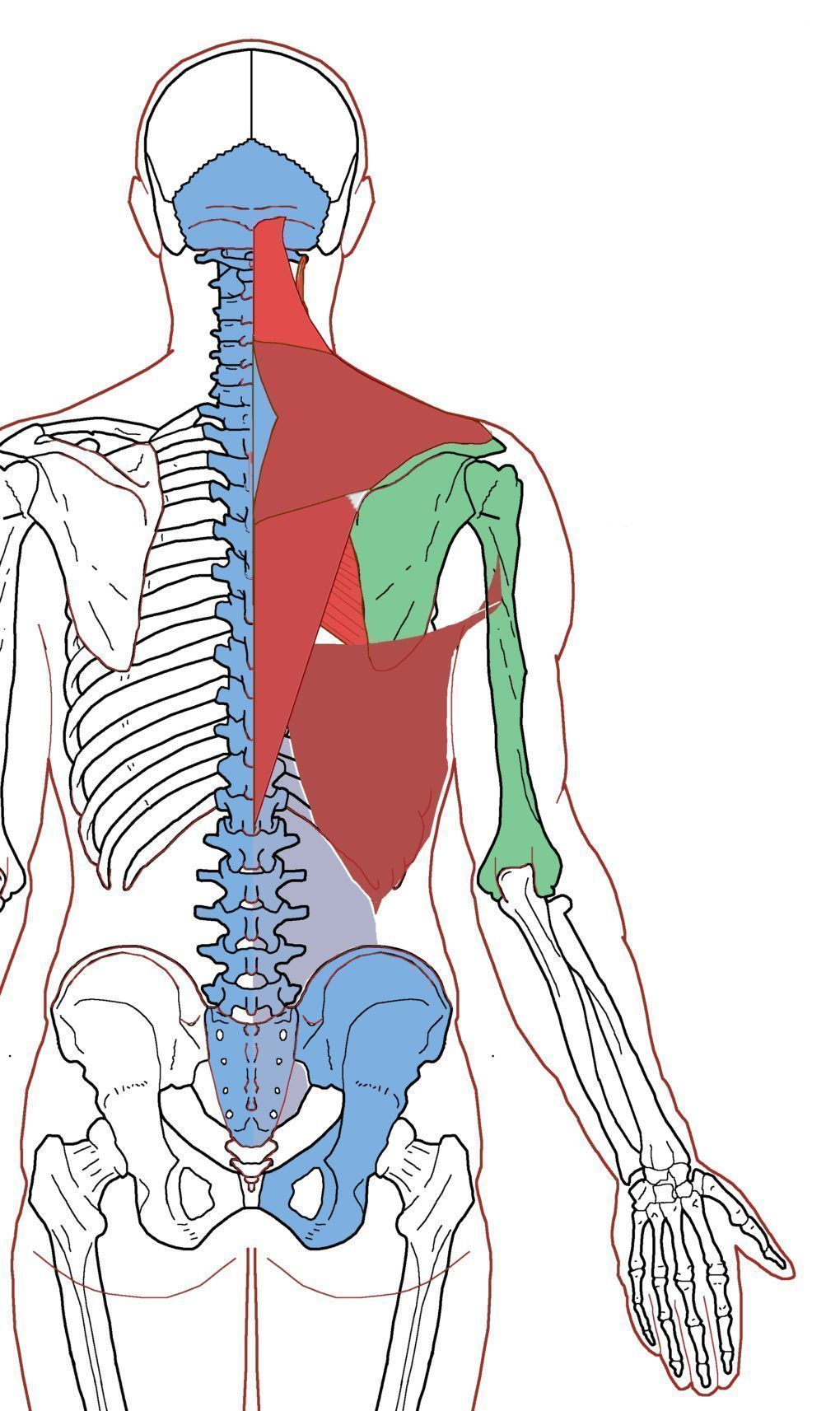Extrinsic Back Muscles Functional Anatomy Integrative Works