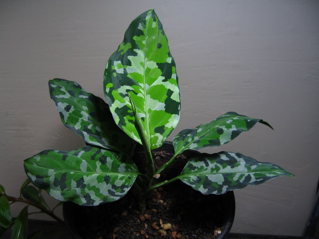 Aglaonema Pictum Velvet Leaf Tricolor Plants Cool