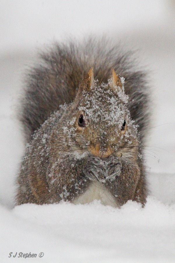 eichhörnchen im winter von barbara rathmanner