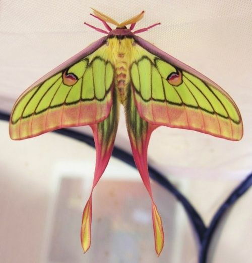 What moth is this?  Tiffany-esque