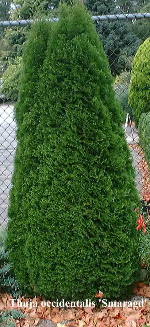http://www.conifer.com.au/objectlibrary/1246Thuja occidentalis 'Smaragd' Thuja occidentalis 'Smaragd' One of the most popular conifers available. Forms a beautiful cone-shaped shrub reaching approx 2M in the first 10 years. Ideal as a feature, along fences or in pots.